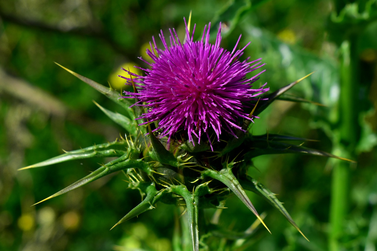 Milk Thistle does the body good
